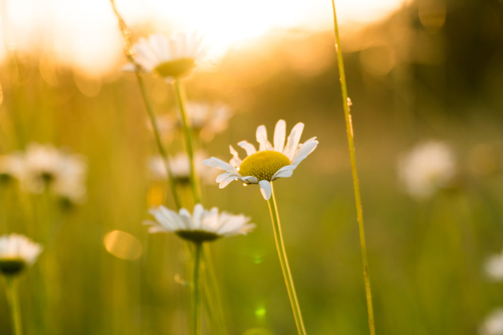 White daisies with rugged petals bathed in sunlight.